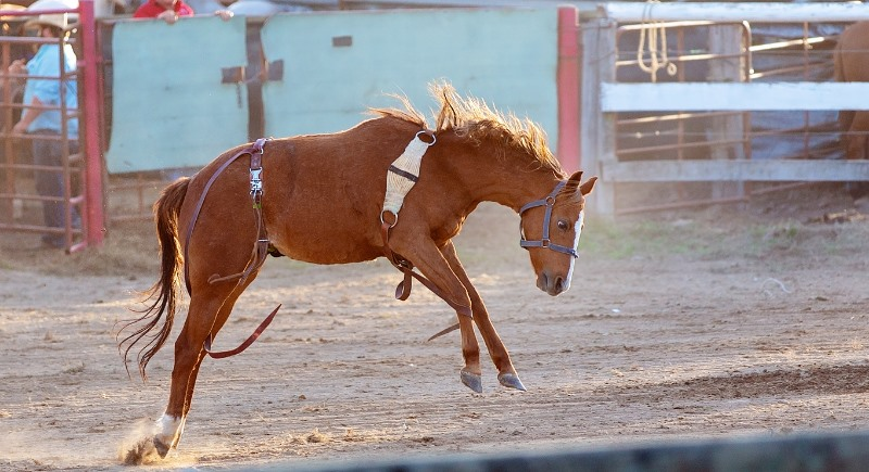 horse bucking in a rodeo